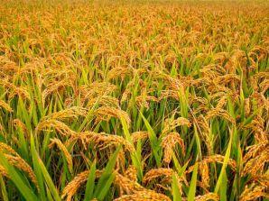 बैतडीमा धान र मकै उत्पादन बढ्यो